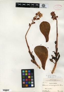 Image of Echeveria rubromarginata