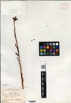 Image of Echeveria trianthina
