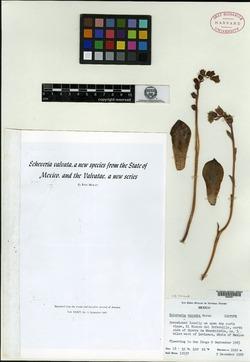 Image of Echeveria valvata