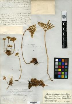 Image of Sedum divaricatum