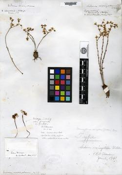 Image of Sedum variegatum