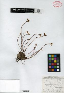Image of Sedum caducum