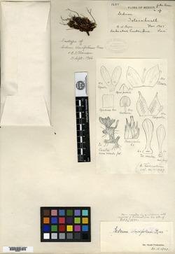 Image of Sedum clavifolium