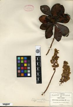 Image of Sedum cremnophila
