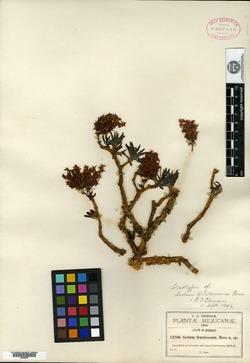 Image of Sedum frutescens