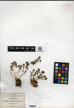 Image of Sedum puberulum