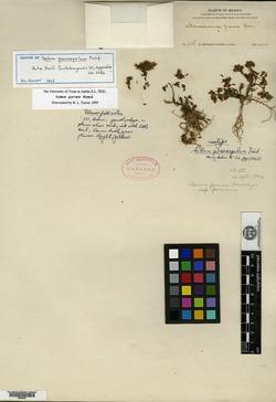 Image of Sedum pososepalum