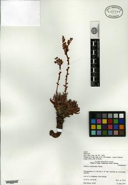 Image of Dudleya campanulata