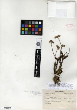 Image of Sedum platystylum