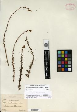 Image of Villadia ramosissima