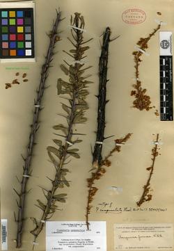 Image of Fouquieria campanulata