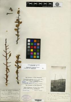 Fouquieria columnaris image