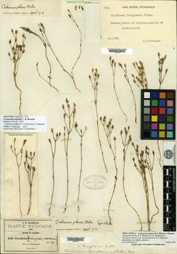 Image of Centaurium martinii