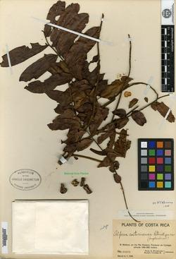 Alfaroa costaricensis image