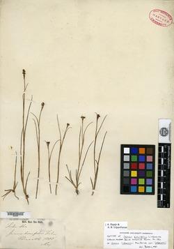 Juncus brevifolius image