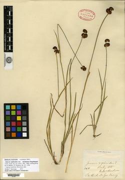 Juncus saximontanus image
