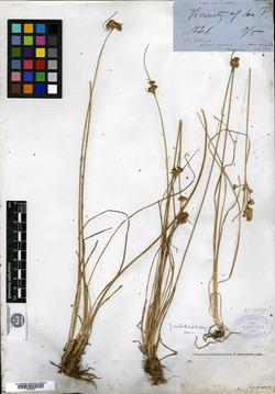 Juncus occidentalis image