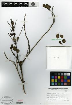 Schoepfia cubensis image