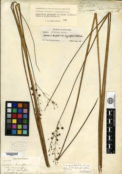 Image of Sagittaria angustifolia