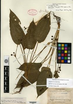 Echinodorus horizontalis image