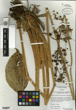 Image of Echinodorus floridanus