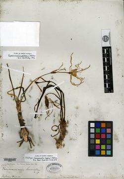 Image of Hymenocallis humilis