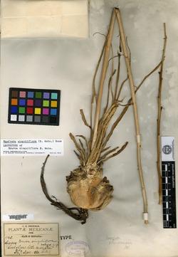 Image of Bravoa singuliflora