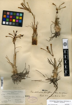 Image of Agave confertiflora