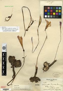 Image of Habranthus conzattii