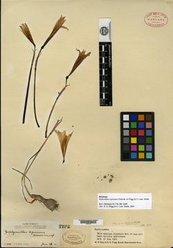 Image of Habranthus tepicensis