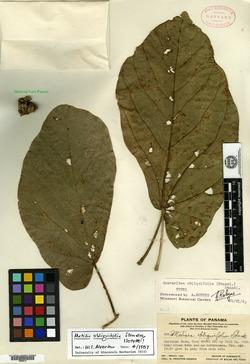 Matisia obliquifolia image