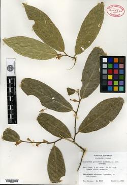 Image of Quararibea parviflora