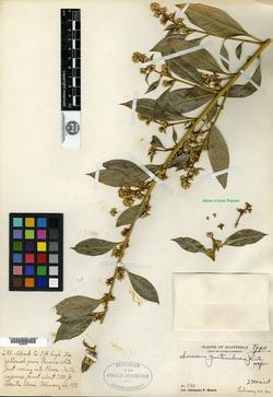 Image of Buxus conzattii
