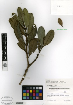 Image of Buxus crassifolia