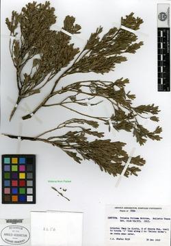 Buxus foliosa image