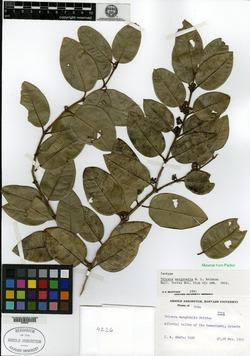 Image of Buxus marginalis