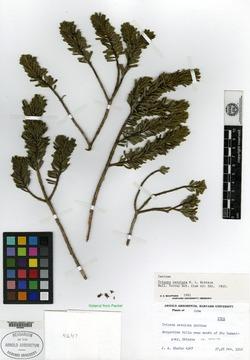 Image of Buxus revoluta