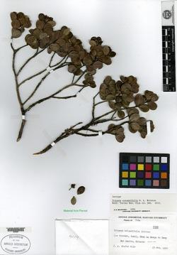 Image of Buxus rotundifolia
