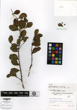 Image of Buxus shaferi