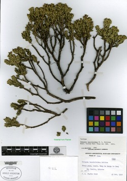 Image of Buxus vaccinioides