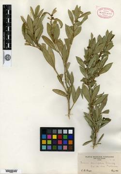 Buxus lancifolia image