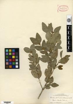 Buxus pubescens image