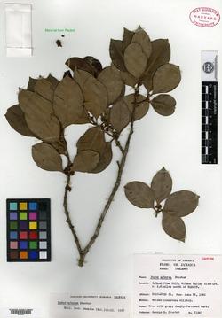 Image of Buxus arborea