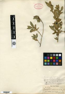 Image of Buxus glomerata