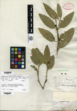 Image of Buxus subcolumnaris