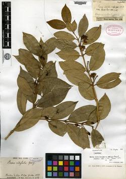 Buxus subcolumnaris image