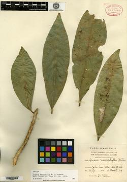 Image of Buxus macrophylla