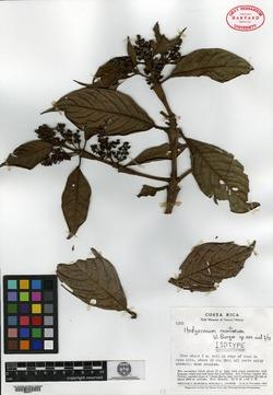 Hedyosmum goudotianum image