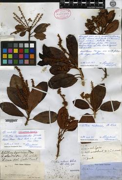 Image of Clethra cubensis
