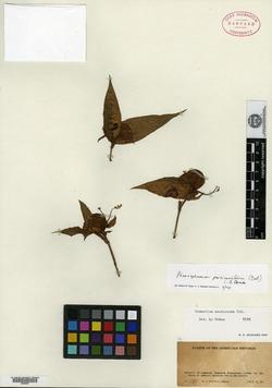 Image of Commelina acutissima